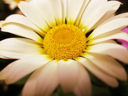 Daisy by PhotoPuddle