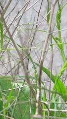 Gras/Grass