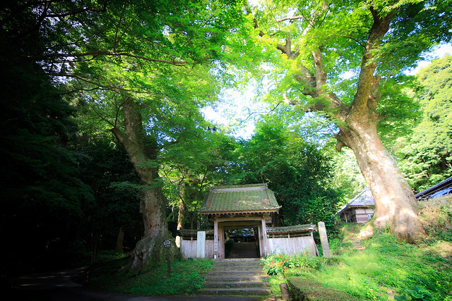 #43 The Giant Zelkova of Busshou Temple