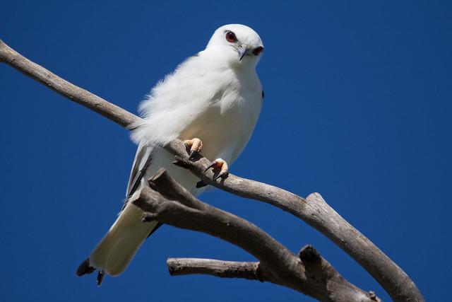 Black-shouldered Kite 2012-08-03 (_MG_1909)