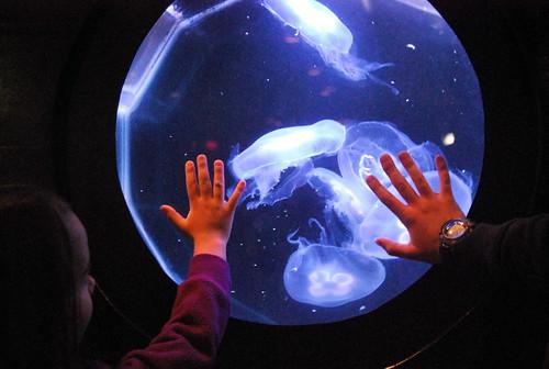 JA - moon jelly fish