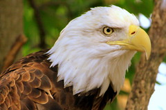 Bald Eagle - Montgomery Zoo