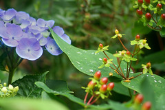 Flowers in Garden August 2012 031b