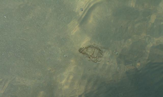 Jellyfish in the sea.