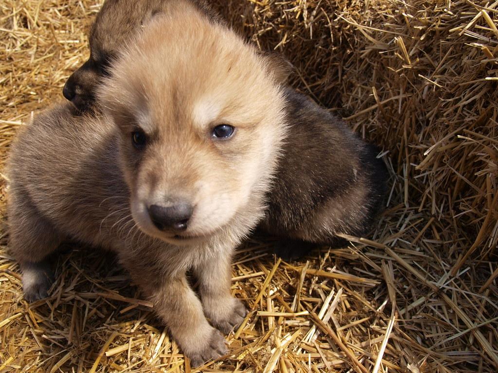 wild wolf pups