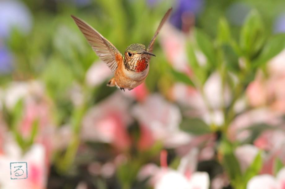 Allen's Hummingbird050112-3