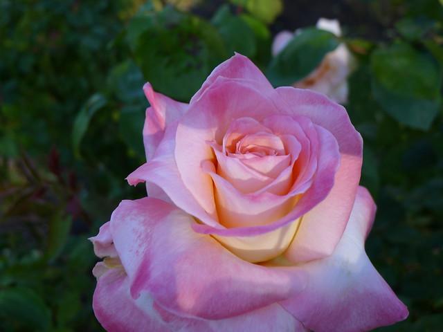 Princess Diana Rose Bloom Flickr Photo Sharing