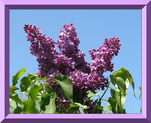 """Spring Lilacs"" by ellenc995"