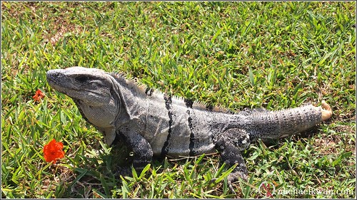 Iguana Lost Its Tail