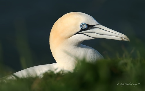 Gannet in the evening Sun by Andy Pritchard - Barrowford
