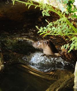 Otter in culvert