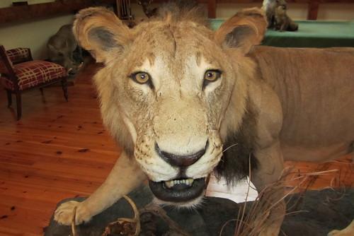 被做成標本的獅子狩獵戰利品。(來源:Joel Abroad)