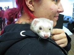 animal(1.0), weasel(1.0), mustelidae(1.0), mammal(1.0), polecat(1.0), ferret(1.0),