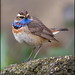 Red Spotted Bluethroat