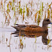 Small photo of American Wigeon