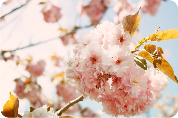 {pink} cherry blossoms