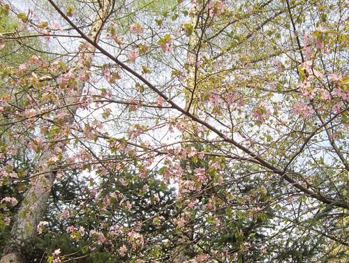 近所の山桜 2012年5月14日 by Poran111