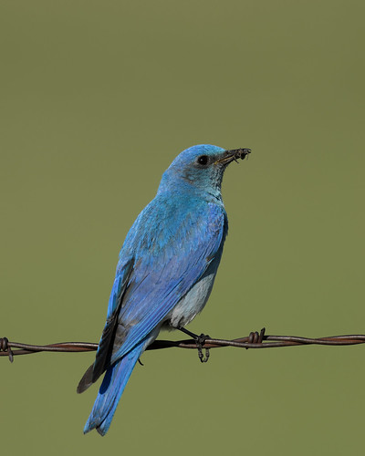 Mountain Bluebird_2053.jpg