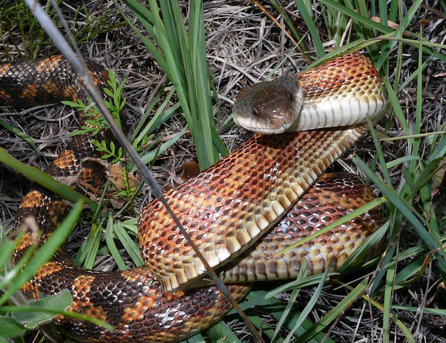 Texas Rat Snake Pantherophis Obsoletus Flickr Photo: garden snakes in texas