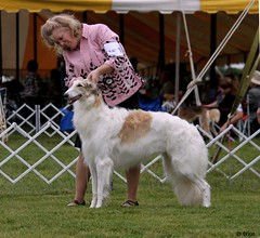 dog sports, animal sports, animal, silken windhound, dog, sighthound, saluki, sports, pet, mammal, conformation show, borzoi,