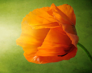 Poppy Light