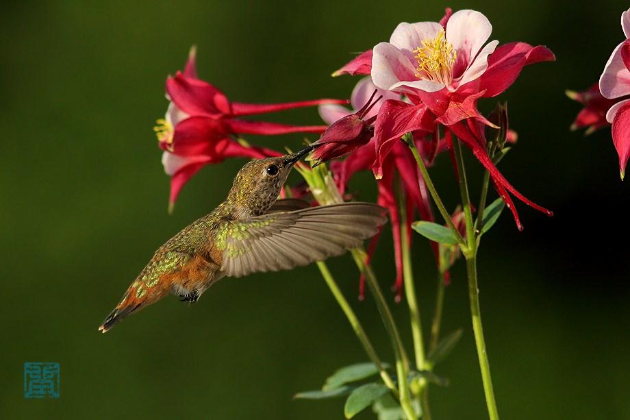 Allen's Hummingbird 052912-8