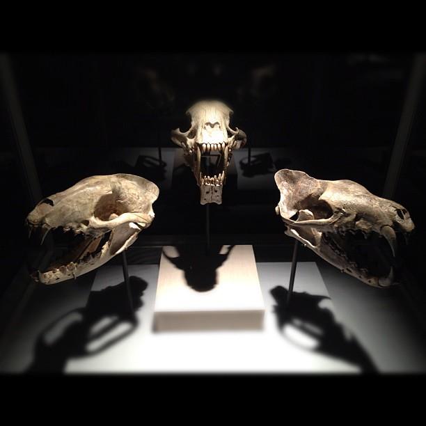Bear dog saber toothed cat creodont hmnspaleo flickr photo