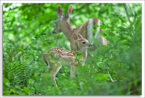White Tail and Fawn — Delaware Water Gap NRA