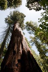 Calaveras Big Trees 2012