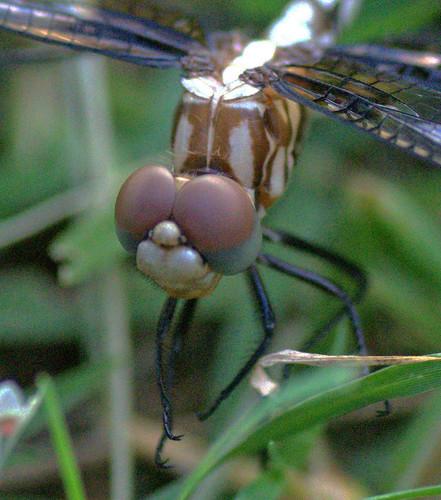 nature wildlife macrophotography pondlife wingedinsects dragonfliesanddamselflies checkeredsetwingdythemisfugax nikond5100 rvranchkeenetexas voraciousinsectpredator checkeredsetwingdragonflies
