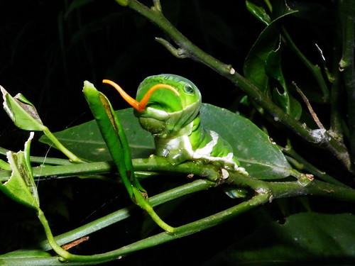 圖一:金橘樹上的大鳳蝶幼蟲,正伸出牠的臭角