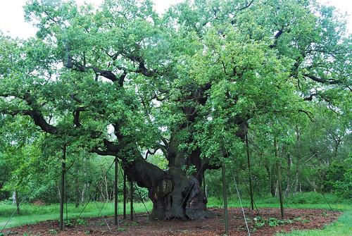 Major Oak Sherwood Forest