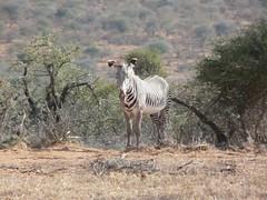Grevy's Zebra - Mpala Farm 1