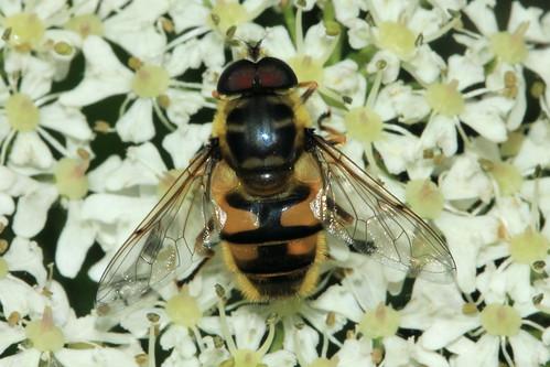 Myathropa florea 9053
