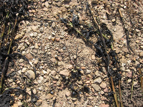 Canada thistle, after flaming
