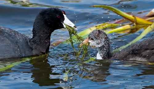 Mother Coot Feeding Her Chick  June 2012