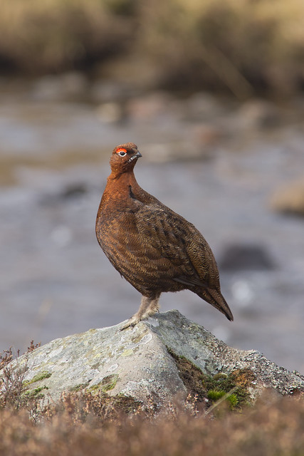red grouse on stone 3