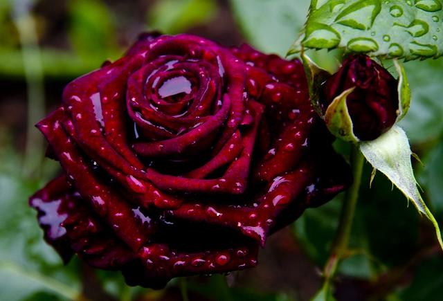 """Rose """"Black Baccara""""   Flickr - Photo Sharing!"""