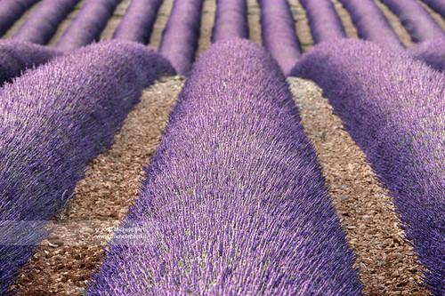 france lines lavender provence verdon
