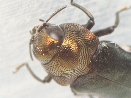 ムネアカチビナカボソタマムシ