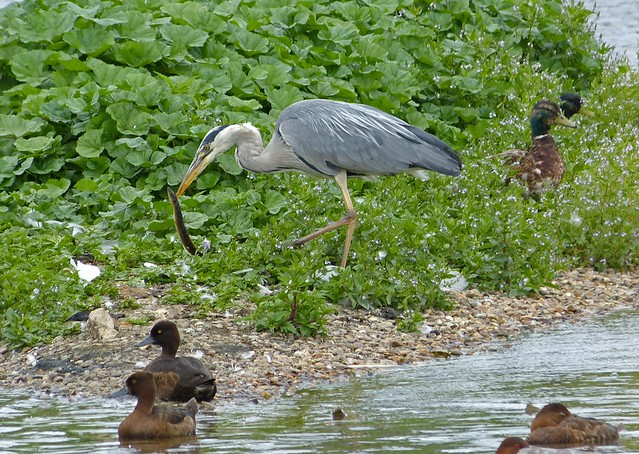 27526 - Grey Heron with Eel, WWT London