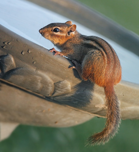 animal fur rodent birdbath michigan ngc chipmunk tamiasstriatus easternchipmunk