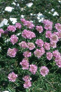 Armeria maritima ssp. alpina (Willd.)     P.Silva