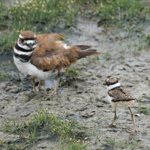 Baby Killdeer with Parent by Mike's Birds