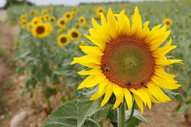 Sunflower crop in Provence, France