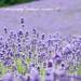 北海道の夏。2011*249* by *hui-mei-98