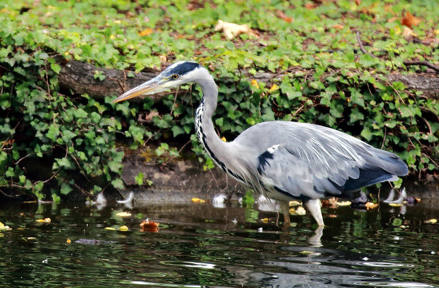 J77A3259 -- Grey heron in shallow waters