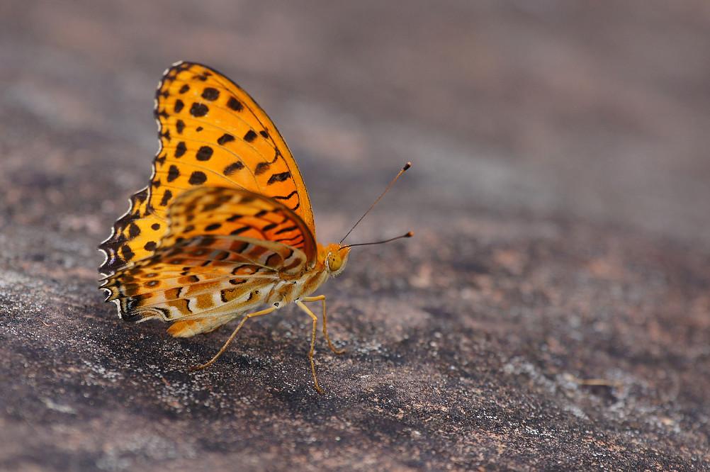 16-黑端豹斑蝶