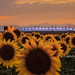 Sunflowers and Airplanes {explored} by lockechrisj