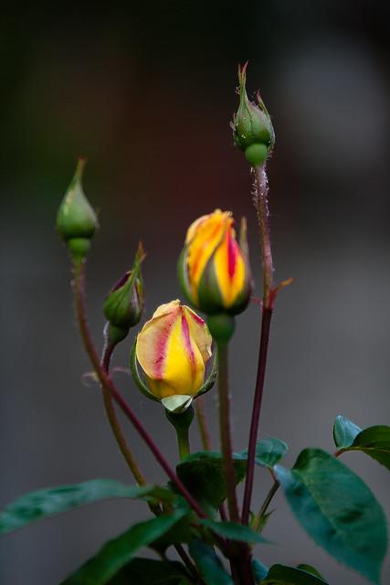 *_rose